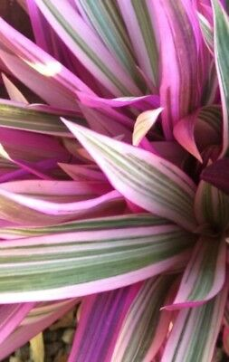 TRICOLOR RHOEO - OYSTER PLANT -  PINK LEAF VARIEGATION 1 Plant Rooted