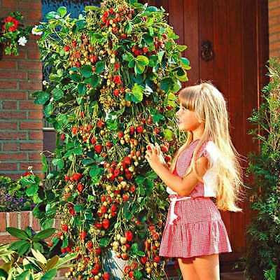400/500pcs Red Strawberry Seed Climbing Home Garden Fruit-Plant Sweet Delicious