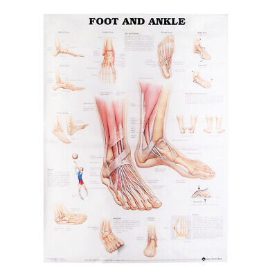 80*60cm Anatomy Of Foot And Ankle Poster Anatomical Chart Human Body Educational