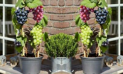 Blue Red & White 6 Mixed Grapes Vines Fruit Collection 25-40cm high in 10cm Pots