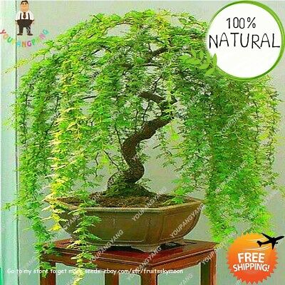 Sky Willow Bonsai Seeds Plants Chinese Perennial Flower Rare Blue Indoor 50pcs