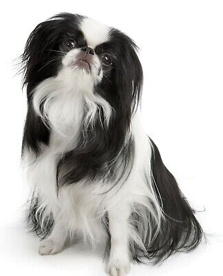 Japanese Chin Dog Tote /Shopper / Reusable Bag Great Gift Fast Despatch