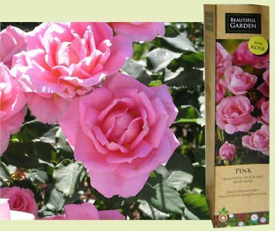 1 Fragrant Pink English Bush Rose Bare Rooted Plant Shrub Spring Garden Flower