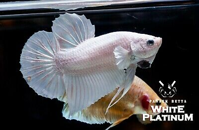 11e3af407521 WHITE PLATINUM Male size M Live betta Tropical fish HMPK Thailand beautiful
