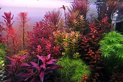 Live Aquarium Plants beautiful plant!! 5 Stems blood stargrass! FREE S//H!!!