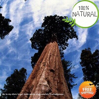 Giant Redwood Tree Seeds Plants For Garden Hardy Perennial Organic Home 100pcs