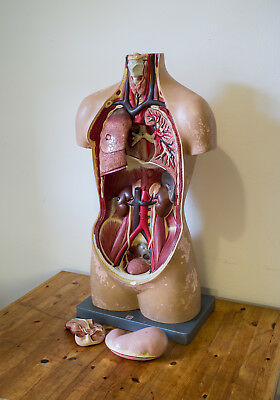 Somso Torso Vintage Anatomy Model