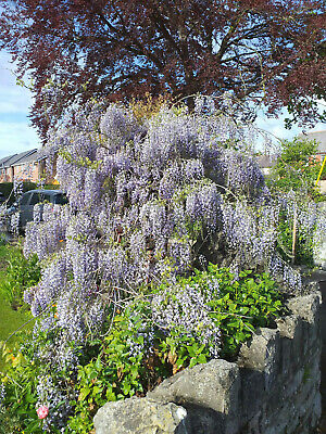 summer flowering shrub, Chinese WISTERIA SINENSIS, hardy climber, 8cm seedling