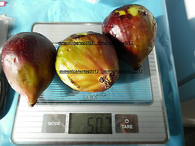 World LARGEST Fig ( Ficus Carica ) Fruits ,Giant figs - 25 fresh seeds *
