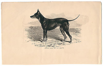 Terrier Black And Tan . Gravure Ou Typo Ancienne, Signee, 1883. Ref 4246