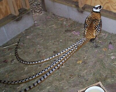 NPIP Reeves long tailed pheasant eggs pre sale  hatching