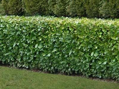 10 3-4ft tall Native Cherry Laurel Grade A evergreen multi-stemmed hedge plants