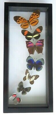 "7 Real Framed Butterflies Size 12.5''X5.5""Inches Double Glass Amazing"