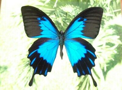 Real Framed Butterfly Blue Papilio Ulysses Telegonus Male Double Glass