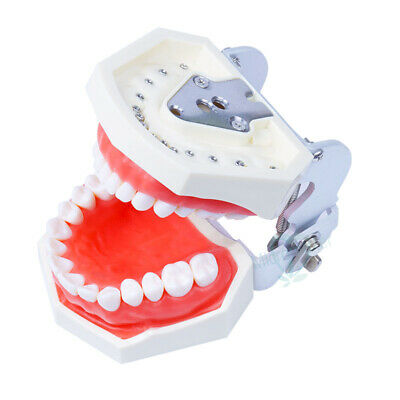 Removable Dental Model Tooth Practice Model With 28pcs Teeth Simulation Model