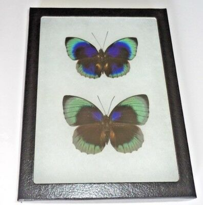Real Framed Butterflies Agrias Beatifica Beata Pair Male Female Unmounted Peru