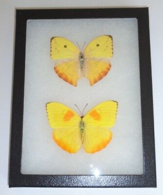 2 Real Butterflies  Mounted Framed Phoebis Philea Pair Male Female Unmounted