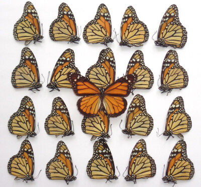 Lot Of 20 Pcs Monarch Butterfly Danaus Plexippus Unmounted A1 Quality Taxidermy