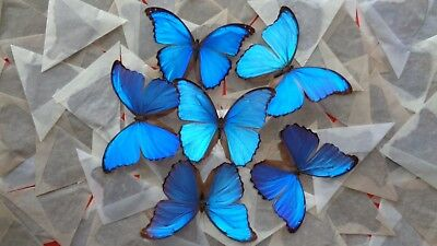 Lot Of 200 Blue Morpho Didius A- Male Good Condition Unmounted Wings Closed.