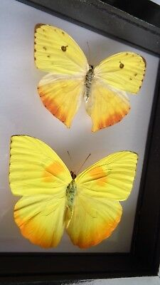 Real Framed Butterflies Yellow Orange Phoebis Philea Pair Male Female Amazing