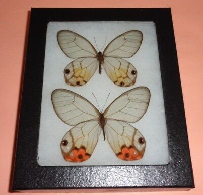 Real Framed Butterflies Cithaerias Piropina Pair Male Female Clear Glass Wings