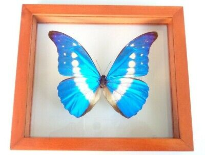 "Real Framed Butterfly Blue Peruvian Morpho Helena Mounted Double Glass 6.5""X7.5"""