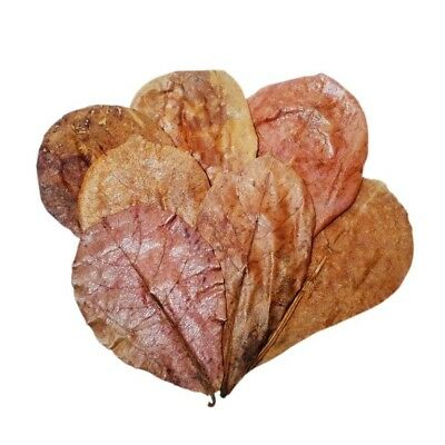 """10 pcs Catappa Indian Almond Leaves 5""""-7"""" - USA Seller, fast shipping!"""