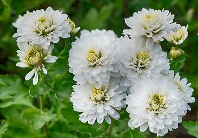 "Zinnia ""Purity"" - white"