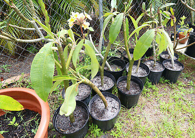 (3pack) 3ft ROOTED Plumeria cuttings HEALTHY RARE PLANTS