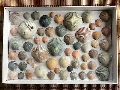 Lot of 60 Sea Shell Scallops Crafting Shells FL Gulf Beach Hand Picked