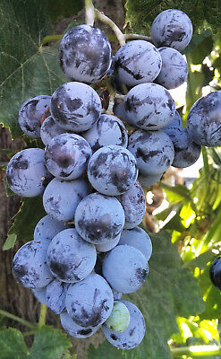 Strawberry Grapevine, VITIS LABRUSCA ISABELLA or FRAGOLINO, hardy, dark blue