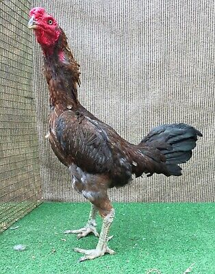 6 Huge Malay Indian Aseel Hatching Eggs Asil Large - $100 00 | PicClick
