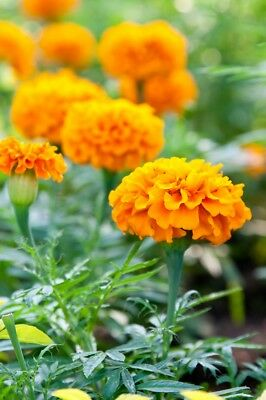"French marigold ""Petite Gold"" - low growing, double golden yellow variety - 315"