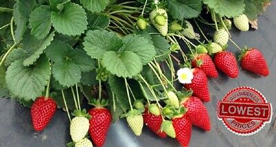 Strawberry Giant Largest Fruit 1000 Seeds