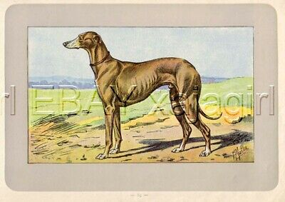 DOG Greyhound, Extremely  Rare Antique 100-Year-Old French Dog Print