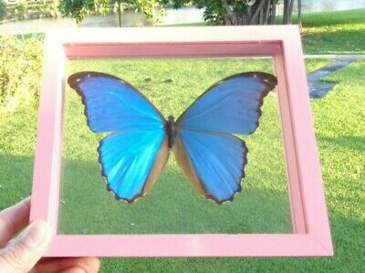 Real Frame Butterfly Blue Morpho Didius  Mounted Pink Wood Frame Double Glass  .