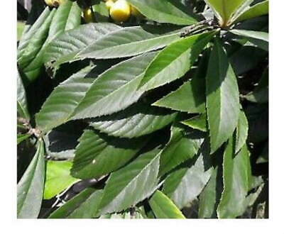 NO fertilizer 25 Loquat// Biwa-Cha Leaves Ship the day Picked Grows naturally
