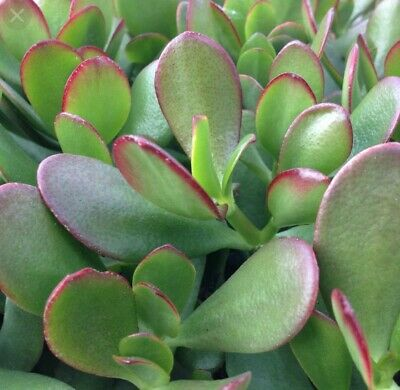 CRASSULA OVATA (jade Plant, Money tree) 2 x hojas leaf cutting
