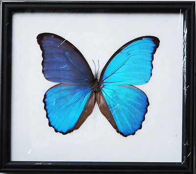 Real Beautiful Giant Morpho Didius Butterfly Display Insect Taxidermy