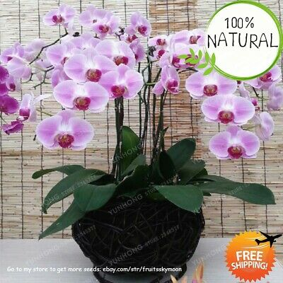 Phalaenopsis Orchid Bonsai Seeds Plants Adorable Butterfly Flower 100pcs/pack