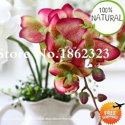 Phalaenopsis Flower Butterfly Seeds Plants Orchid Bonsai And Indoor 100pcs