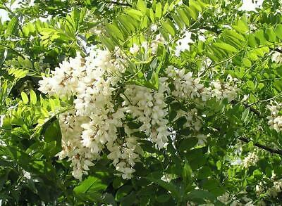 Acacia Acuminata Seeds A 37 Eur 250 Picclick It