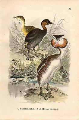 1899 HOFFMANN BIRDS CHROMO great crested grebe, little grebe or dabchick