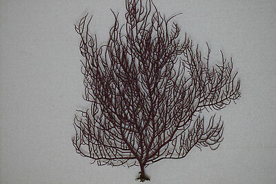 Coral gorgonia red. 300 x 300 mm.