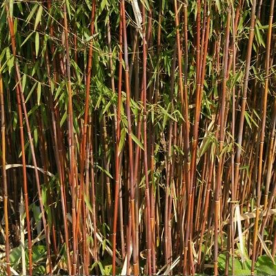 RED DRAGON BAMBOO Live screen RARE NEW ADDITION LIVE STEM bamboo plant