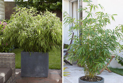 Bamboo FARGESIA RUFA LIVE Potted plant 1L pot healthy live screen