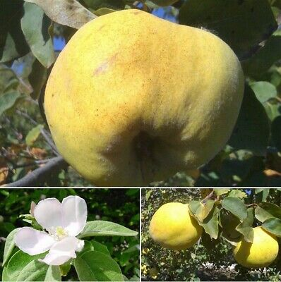 hardy fruit tree, Quince, Cydonia oblonga, small tree, ornamental plant, edible