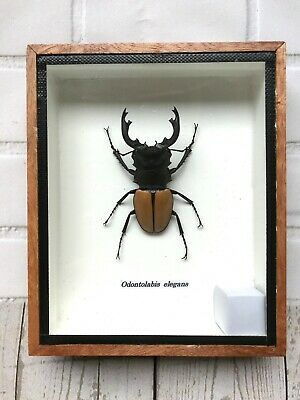 Orange Stag Beetle Odontolabis Insect Display Case Box Taxidermy Wings Closed