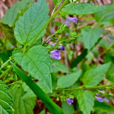 Scutellaria Lateriflora - 100 Seeds - Mad Dog Skullcap - Medicinal Herb