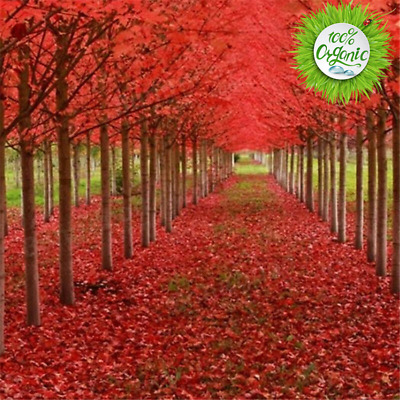 20Pcs. Seeds Japanese Rare Red Maple Tree Bonsai Plant Home & Garden Outdoor